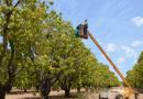 Bekerja Memanen Mangga di Australia Tiga Bulan Sama dengan Penghasilan Empat Tahun  di Timor Leste